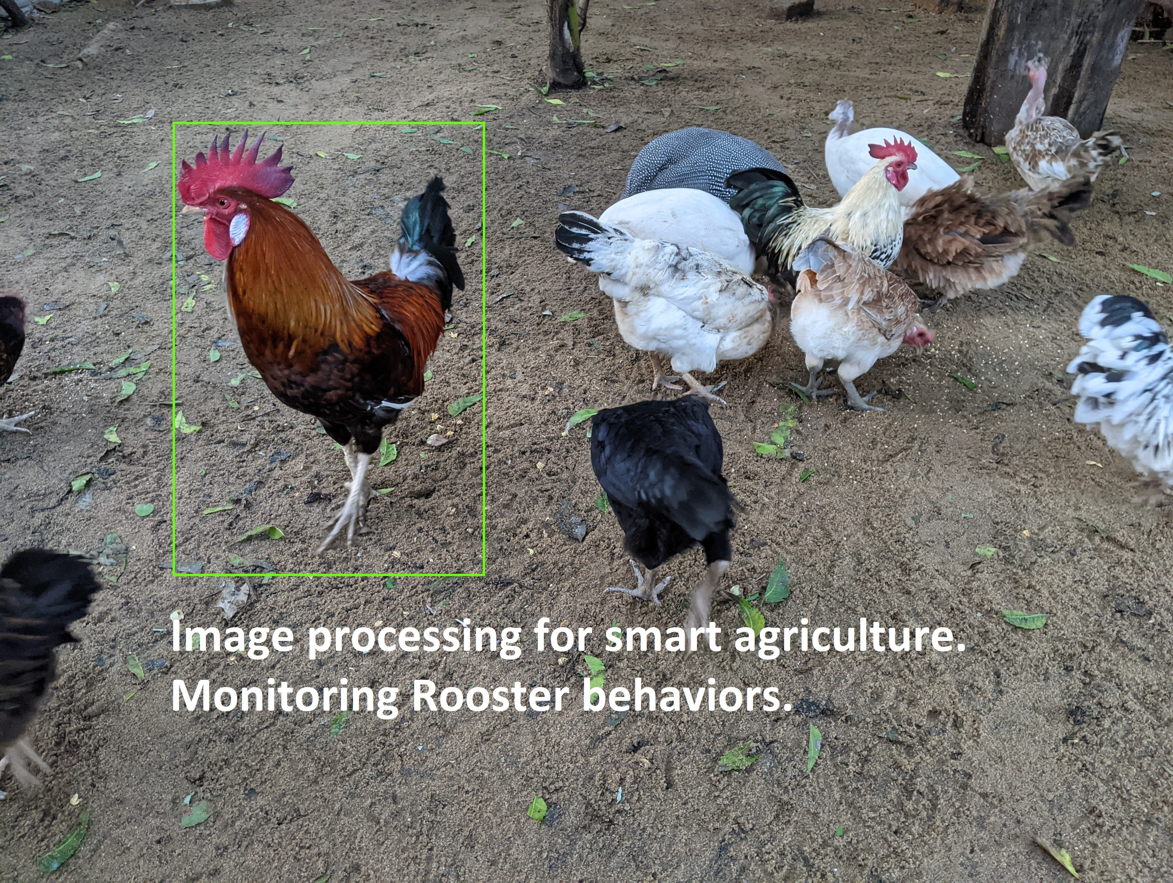 Image processing for smart agriculture. Monitoring Rooster behaviors.